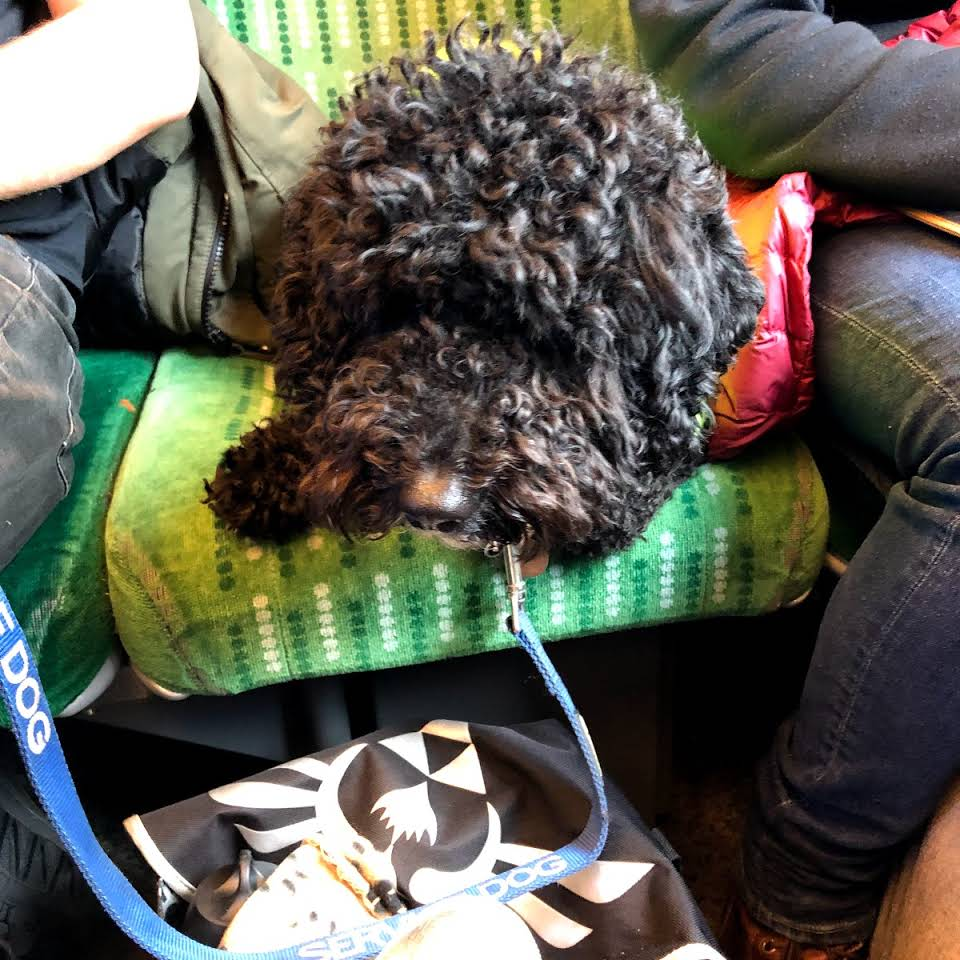 Assistance dog out and about on a train
